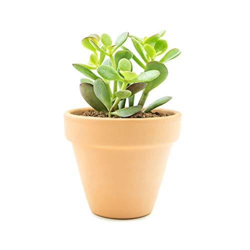 Planta de Jade con Maceta de Cerámica Altura 30cm Crassula Ovata Planta Natural de...