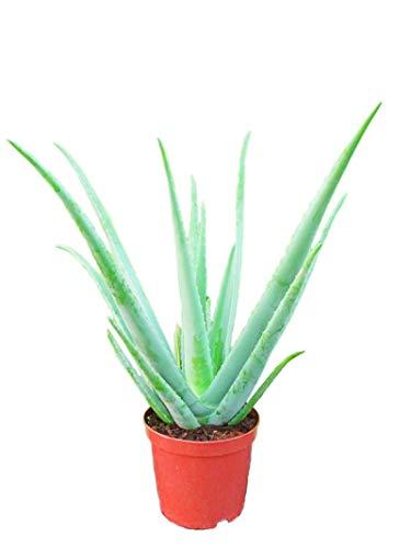 PCMOVILES Aloe Vera en Maceta De 13 Centimetros Natural Desde 30 Centimetros