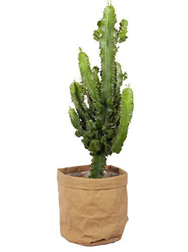 Cactus y suculento de Botanicly – Euphorbia candelabro en maceta efecto-de-papel...