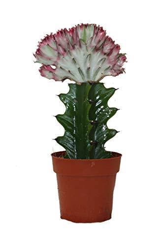 Exotenherz - Euphorbia lactea cristata cae – Olla de 8,5 cm.