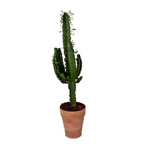 Cactus y suculento de Botanicly – Euphorbia en olla de terracota como un conjunto...