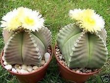 VISA STORE Astrophytum myriostigma KO nu Raro híbrido japón Cactus Semillas 50...