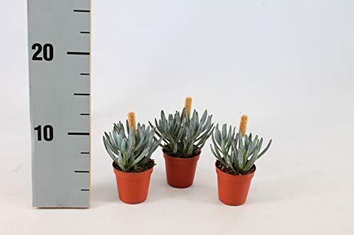 Planta de interior de Botanicly – Senecio – Altura: 10 cm – Senecio Serpens