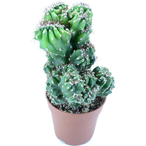 Cactus Cereus Peruvianus Cristata Maceta 13cm Planta de Interior y Exterior