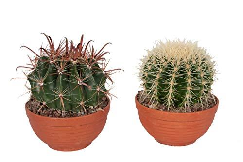 Cactus y suculentas de Botanicly – 2 × Bola de oro & Cactus de barril en bol de...