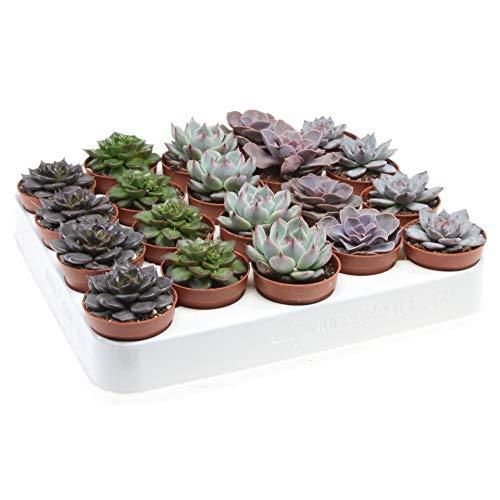 Bandeja de 20 Suculentas Echeveria Naturales en Maceta 5cm Plantas Crasas para...