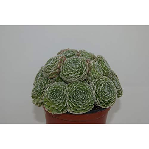 PCMOVILES Cactus Suculenta SEMPERVIVUM ARACHNOIDEUM en maceta de 13cm (planta viva)