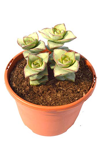 Crassula perforata, planta crasa resistente a la sequia