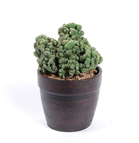 Cactus y suculento de Botanicly – Cardón – Altura: 28 cm – Cereus Peruvianus...