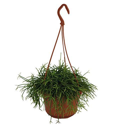 Rhipsalis cassutha in the 15cm pot