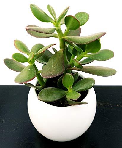 Crassula ovada, árbol de jade, en maceta de cerámica blanca redondeada, planta...