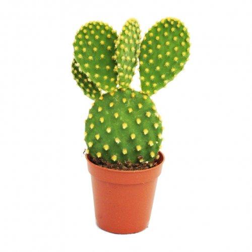 Opuntia microdasys - Pera espinosa amarilla - Cactus - en maceta de 8,5 cm