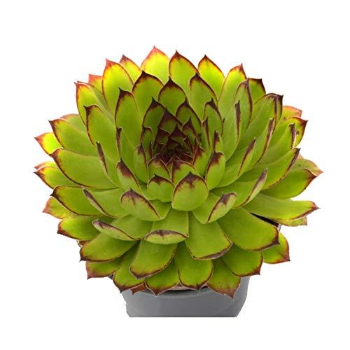 Siempreviva 10cm Sepervivum Tectorum Planta Natural en Maceta