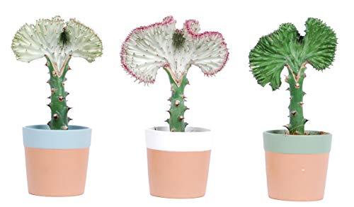 Cactus y suculentas de Botanicly – 3 × Planta Cresta – Altura: 30 cm –...