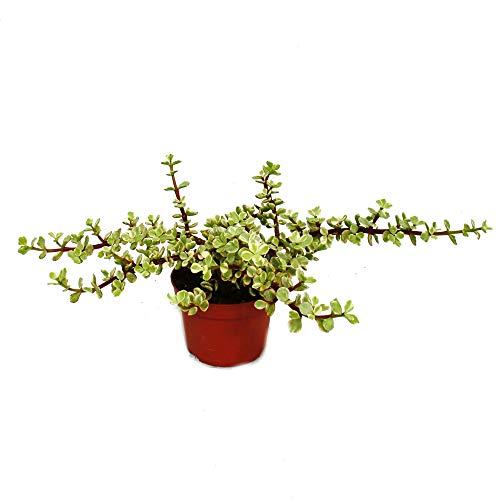 Portulacaria afra VAR - Jadebaum - in 12 cm Pot