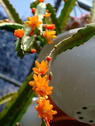 Lepismium monocantha - Cactus de muérdago - 20 Semillas, Fruta, Flor, Árbol, Vid,...