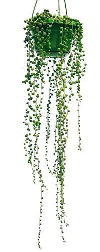 SENECIO ROWLEYANUS, collar de perlas, planta auténtica
