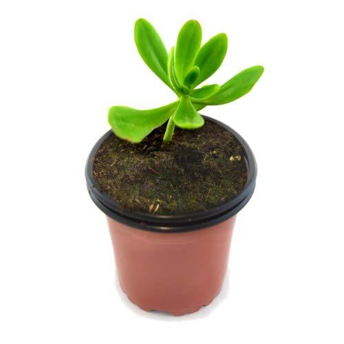 Sedum Sendroideum Praealtum Lengua de Gato Planta Natural 10cm