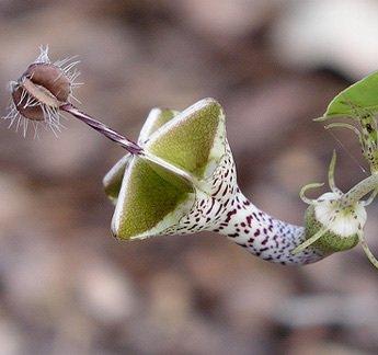 Ceropegia semillas semillas woodii 100PCS flores raras del mundo jardín de flores...
