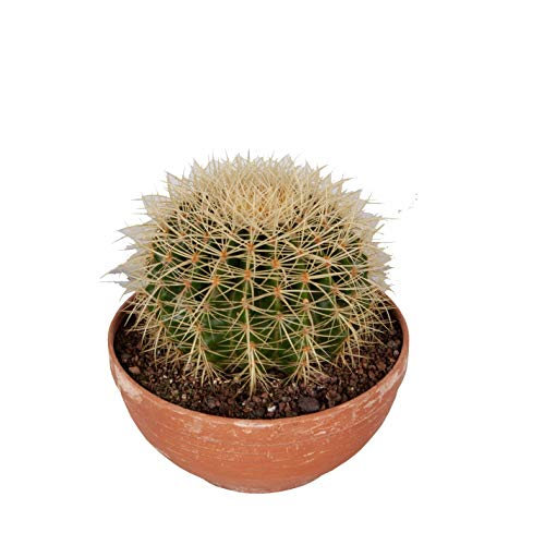 Cactus y suculento de Botanicly – Bola de oro en bol de terracota como un conjunto...