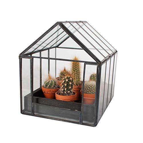 Cactus y suculento de Botanicly – Bola de oro en un pequeño invernadero como un...