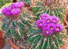 Ferocactus latispinus @ J @ barril cactus raro cactus de semillas al aire libre...