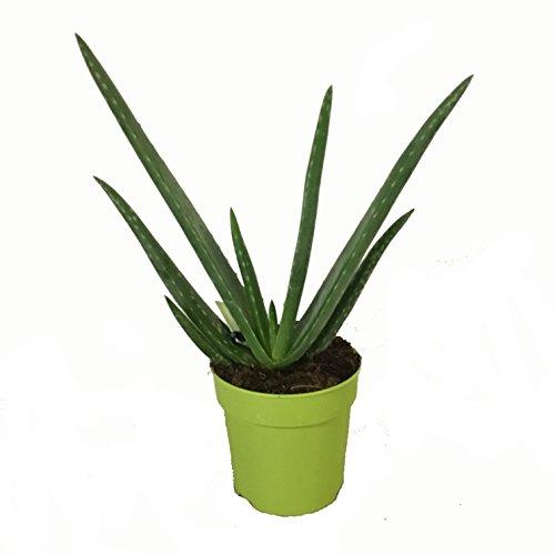 Aloe Vera Planta - Maceta 12cm. - Altura aprox. 30cm. - Planta viva - (Envíos sólo...