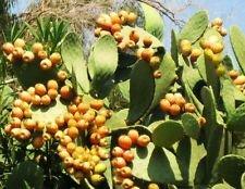 Opuntia ficus indica nopal cactus comestible jugo de Nopalea Nopalina sembrar 100...