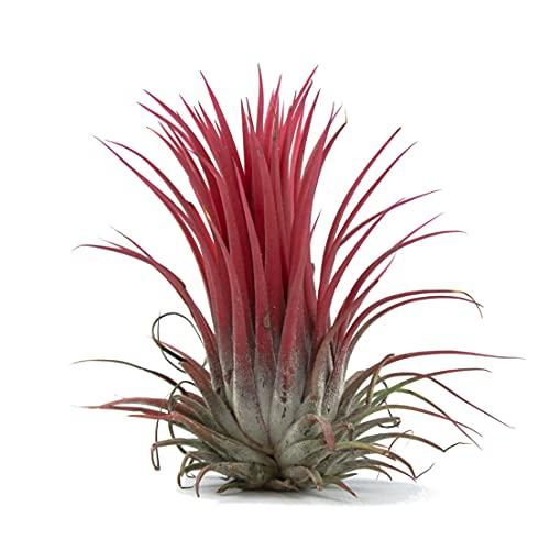Tillandsia Ionantha Roja Planta del Aire Color Rojo Clavel del Aire