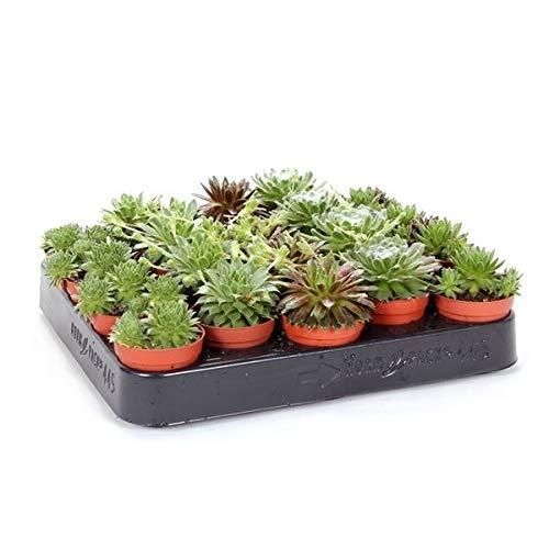 Sempervivum Mixto Bandeja de 20 Unidades Maceta 5cm Plantas Naturales