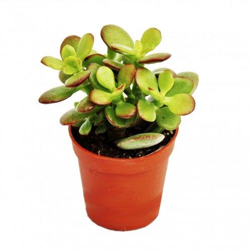 Crassula portulacea Minor - Pfennigbaum - en maceta de 8,5 cm