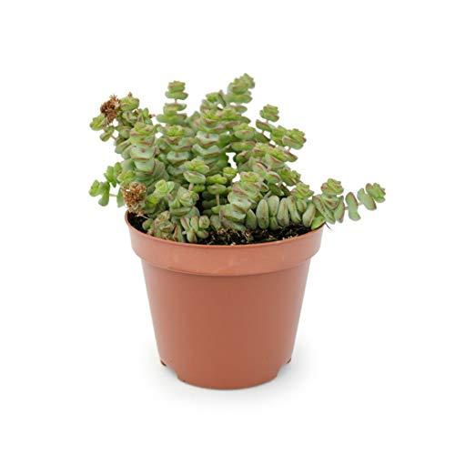 Mini Crassula Perforata Planta Natural 5cm en Maceta Pequeña