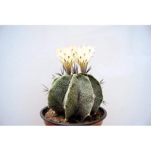 PCMOVILES Cactus Suculenta ASTROPHYTUM ORNATUM en maceta de 13cm (planta viva)