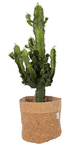 Cactus y suculento de Botanicly – Euphorbia candelabro en maceta de corcho como un...