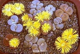 100 % auténticas semillas mezcla Lithops plantas suculentas siembran plantas raras,...
