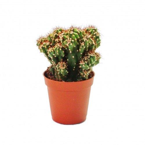 Cereus peruvianus monstr. - Cactus de roca - en maceta de 8,5 cm