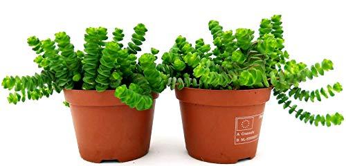 CRASSULA HOTTENTOT, collar de jade, 2 plantas, maceta de 11 cm, plantas auténticas