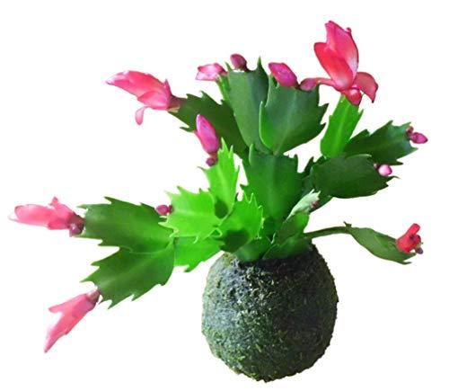 Kokedama Cactus de Navidad, colores variados