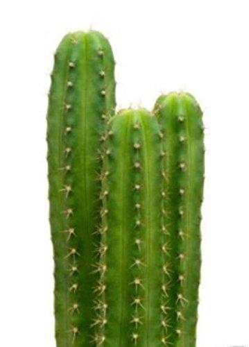 20 semillas de cactus San Pedro Trichocereus pachanoi planta decorativa ceremonial