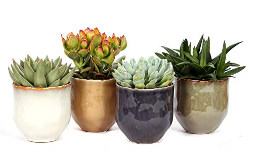 Cactus y suculentas de Botanicly – 4 × Suculentas – Altura: 18 cm –...