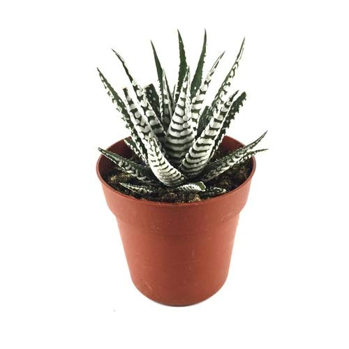 Haworthia Fasciata Alba Planta Natural en Maceta Pequeña Cactus Decorativo