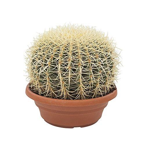 Cactus y suculento de Botanicly – Bola de oro – Altura: 30 cm – Echinocactus...
