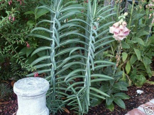 Euphorbia lathyris GOPHER PURGA semillas perennes!