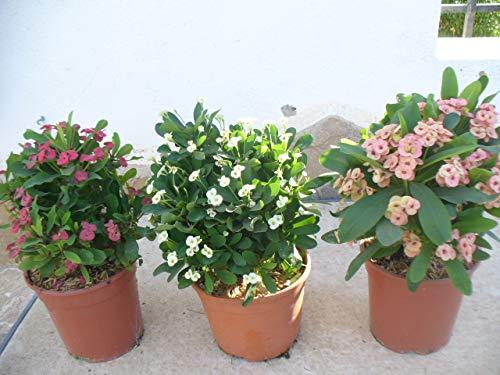 Juego/Set der 3 plantas Euphorbia milii - Espina de cristo - rosa, roja y...