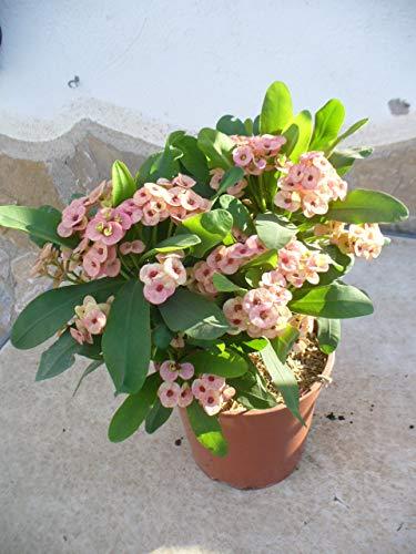 Euphorbia milii - Espina de cristo - rosa/una planta 35-45 cm