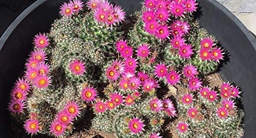 PLAT FIRM SEMILLAS DE GERMINACION: Hardy Cactus Seeds - Escobaria Vivipara - 200...