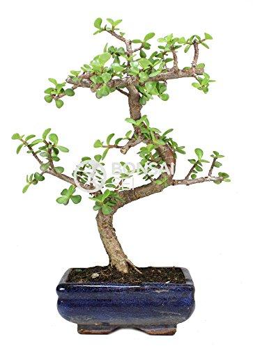 Bonsai - Árbol de Jade, 7 Años (Bonsai Sei - Portulacaria Afra)