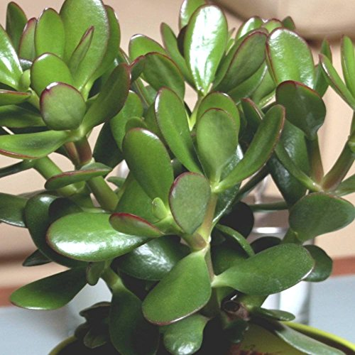 Árbol de jade (crassula ovata convoluta) - 1 planta
