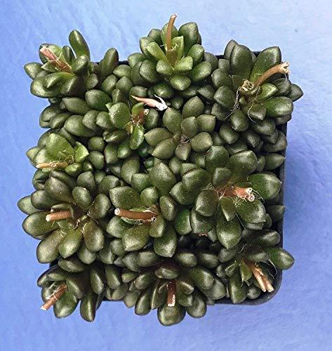 Germinación Las Semillas: Anacampseros LUBBERSII en A 2' Pot, semilla cultivada...