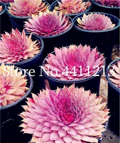 Bloom Green Co. 300 Piezas Sempervivum Bonsai Importaciones alemanas de Flores en...